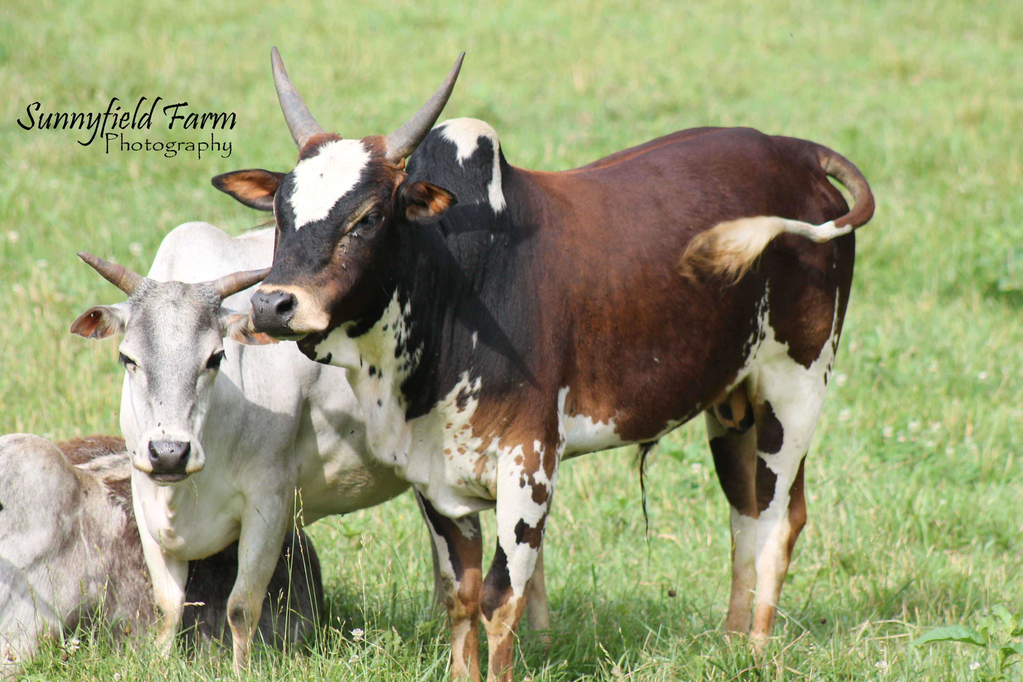 Sunnyfield Farm Zebu